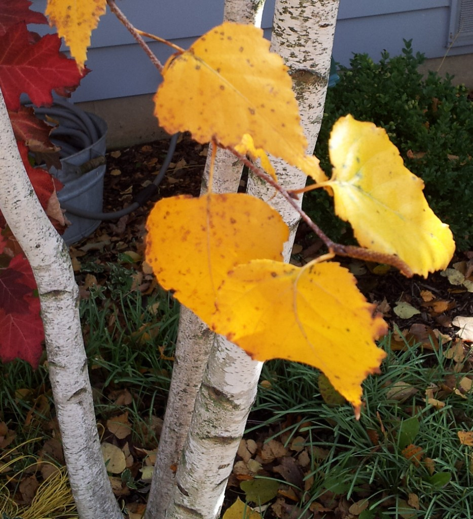 Plants for fall color - Betula 'Whitespire'