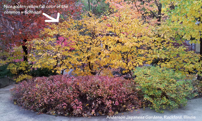 Plants for fall color - common witch hazel