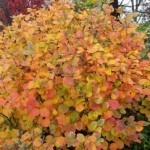Plants for fall color – Part 2 of 2