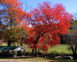 Plants for fall color - Acer rubrum