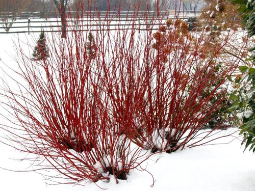 Red winter stems artic fire dogwood