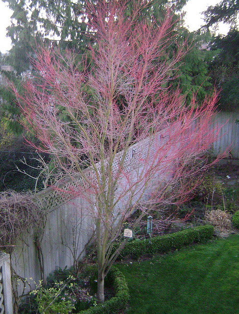 Red winter stem color Coral bark Japanese Maple