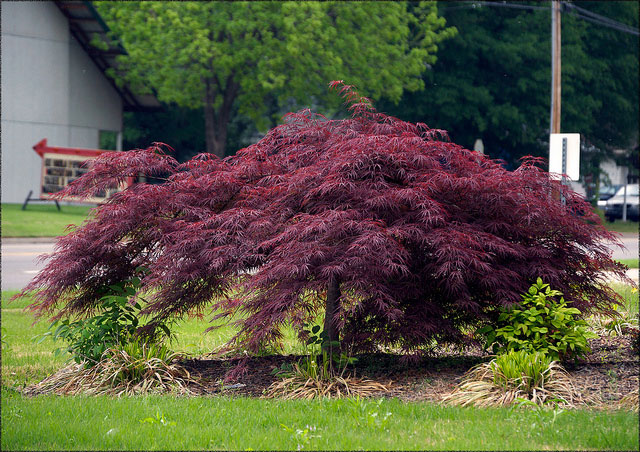 Non green leaf Japanese maple - Crimson queen Japanese maple