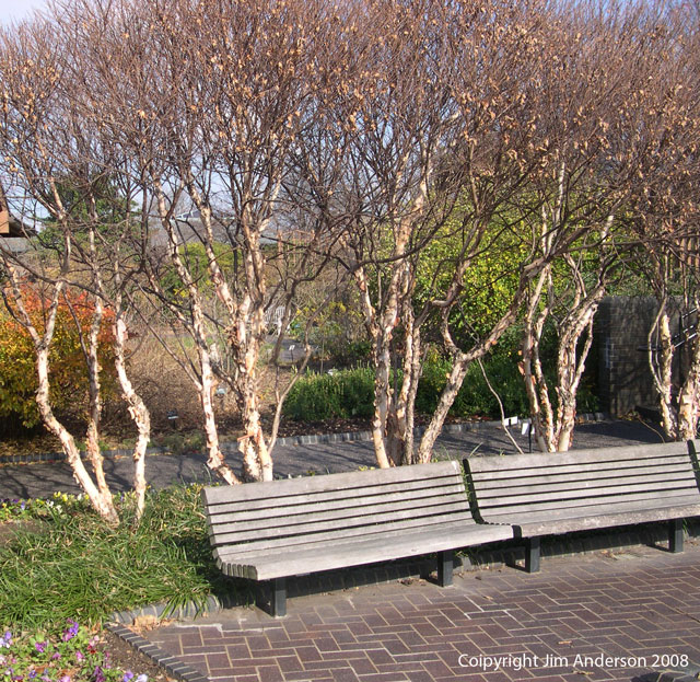 Garden structure - benches backed by dwarf river birch
