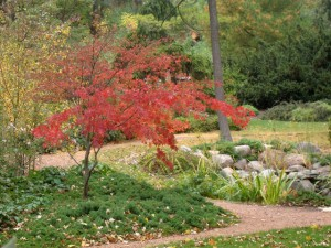 Green Leaf Japanese Maple