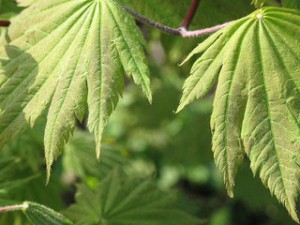 Vitifolium green leaf Japanese maple