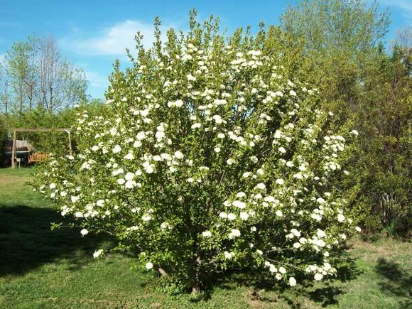 Blackhaw viburnum tree like shrub