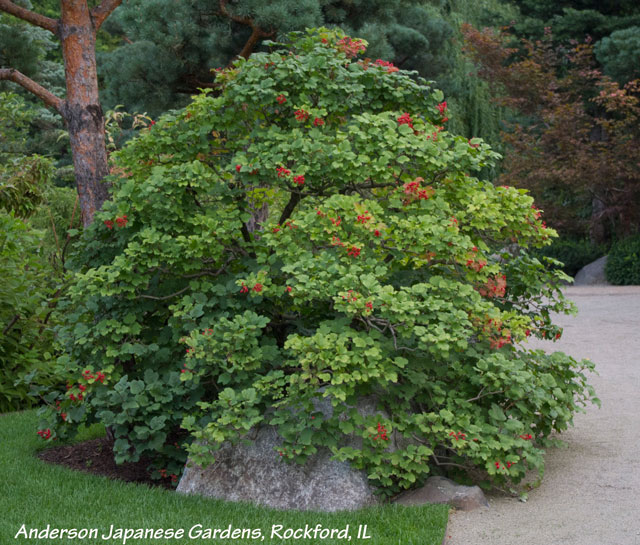 Cranberry bush viburnum pruned into a tree like shrub