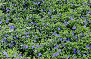 Front yard design plant Vinca minor