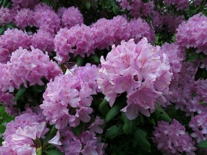 Rhododendron shrub flower