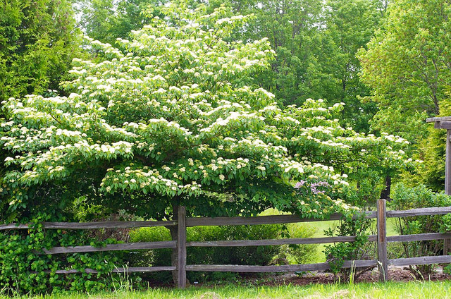 Tree like shrub Pagoda dogwood in flower