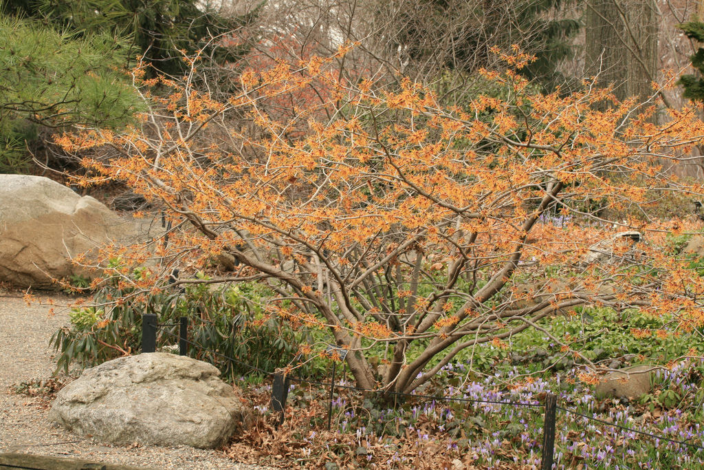 Witch hazel tree Jelena