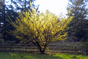 Arnolds Promise witch hazel flowers in late winter