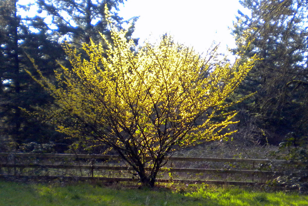 Witch hazel tree intermedia in full bloom