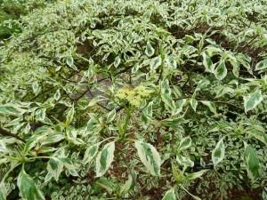 Tree like shrub Argentea Pagoda Dogwood