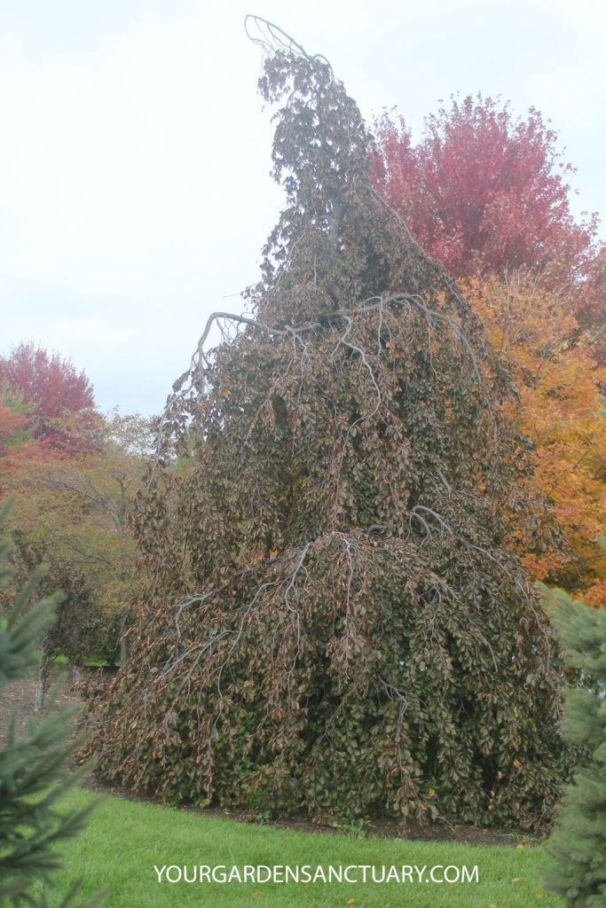 Mature Purple Fountain Weeping Beech
