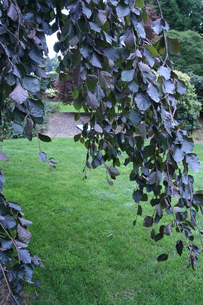 beech sprouts purple fountain beech as a perfect specimen