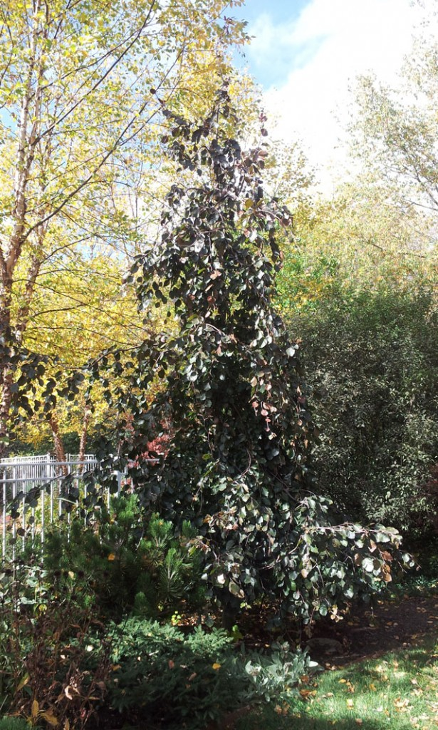 Purple fountain weeping beech ten years later