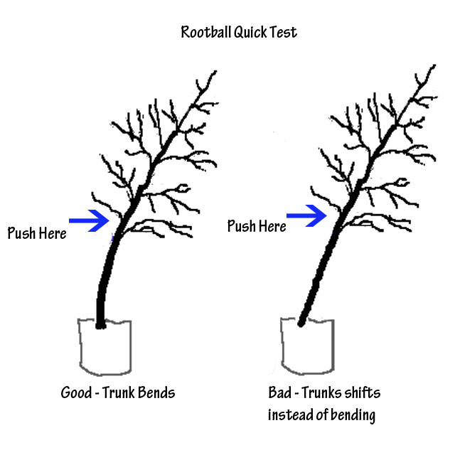 Root ball test to perform before buying trees
