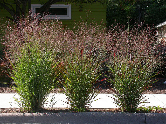 Switch grass ornamental grass