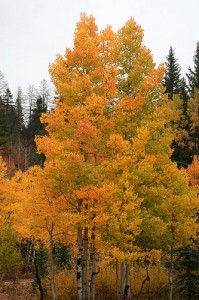 Quaking aspen in forest