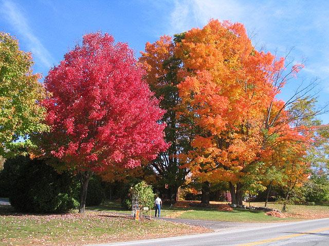 Red and sugar maple fall color comparison