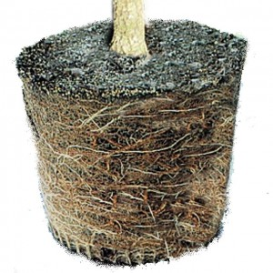 Root bound container plant