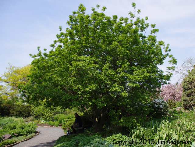 Smaller shade tree - Amur maple