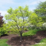 Four Smaller Shade Trees for your Garden Sanctuary