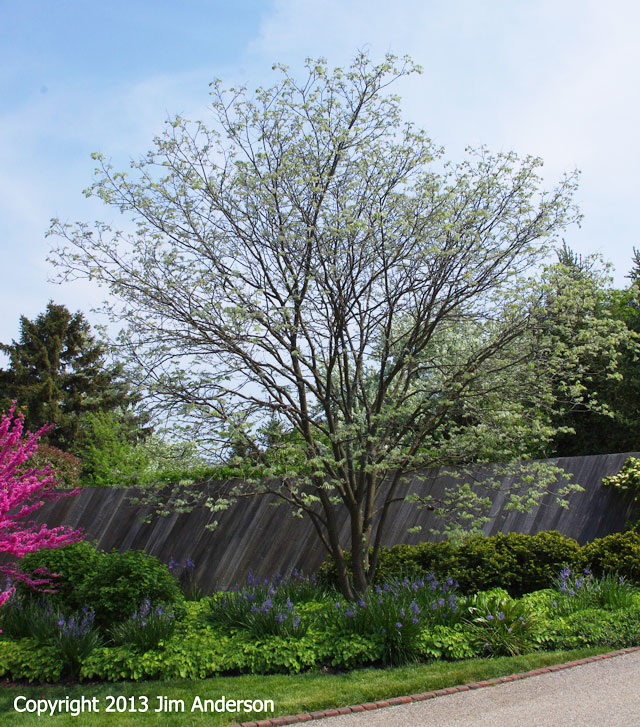 Smaller shade tree - Amur Maackia