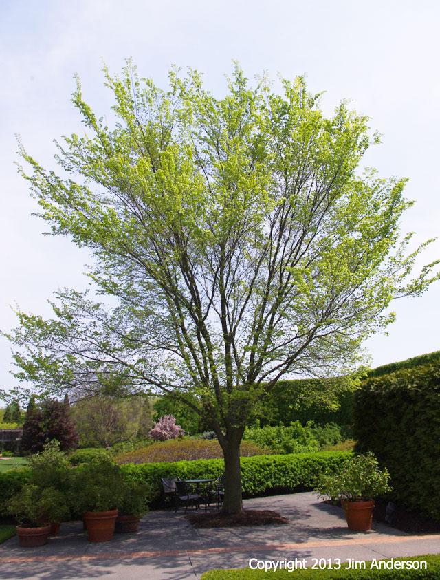 Smaller shade tree - Frontier elm