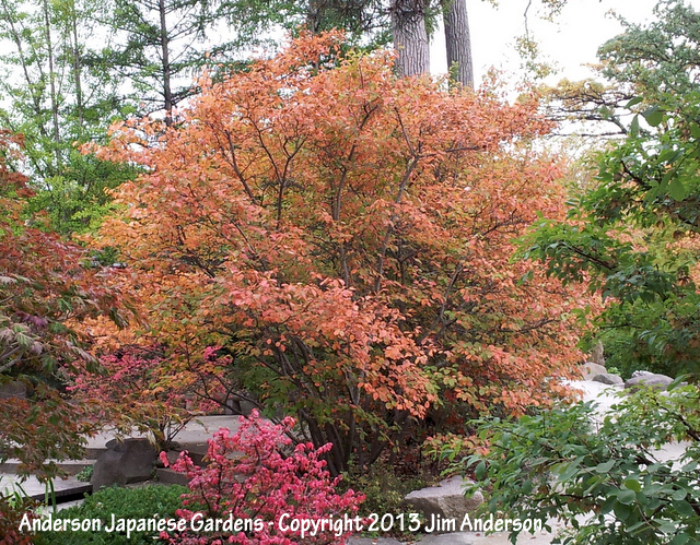 Smaller shade trees for your yard including 6 natives for Serviceberry tree
