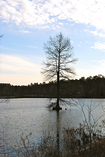 Trees for wet areas - Baldcypress in lake