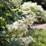 Oakleaf hydrangea for long summer blooms