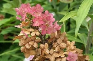 oakleaf hydrangea flower turning pink