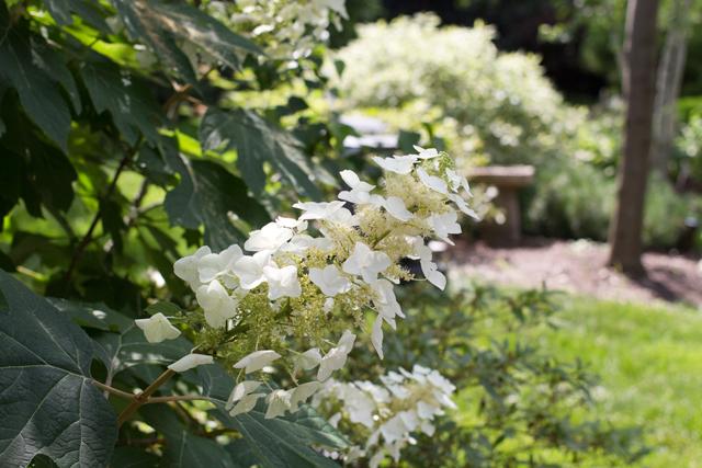 Oakleaf Hydrangea (Hydrangea quercifolia) flower