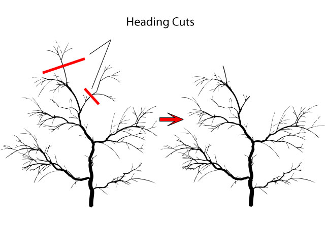 Pruning a crab apple with heading cuts