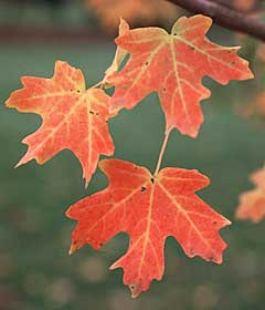 Create a woodland garden using Rocky Mountain Glow® Maple
