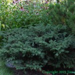 Birds nest spruce is a versatile shrub that's not for the birds
