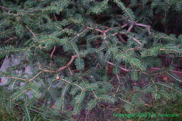Branch detail of a Birds nest spruce (Picea abies 'Nidiformis') that was thinned in the Japanese garden style