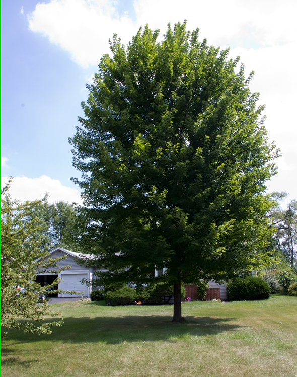 What size shade tree to buy - Autumn Blaze maple is a fast growing, although also overused tree
