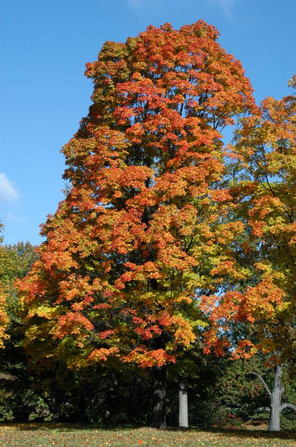 Japanese-garden-fall-color-Acer_nigrum_Greencolumn
