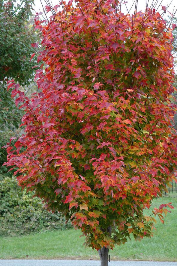 Japanese-garden-fall-color-Acer_rubrum_RedRocket