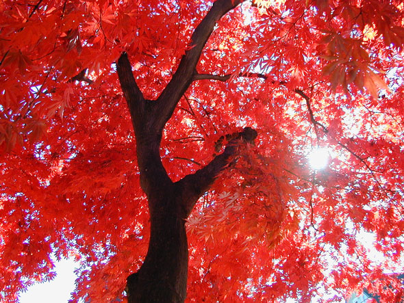 Japanese-garden-fall-color-Japanese-maple-in-fall-color-from-below