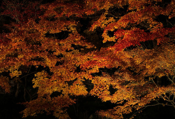 Japanese-garden-fall-color-Japanese-maple-lit-at-night
