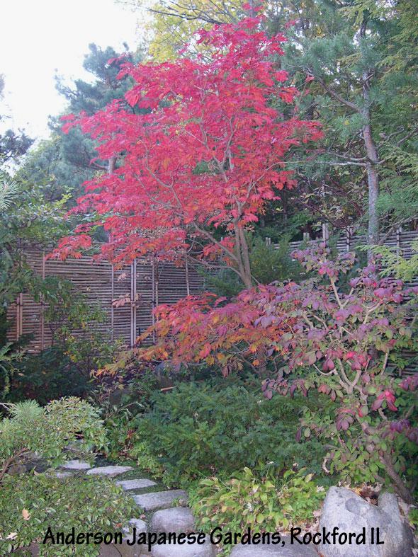The Dancing Peacock Japanese maple (Acer japonicum 'Aconitifolium') in Autumn color.