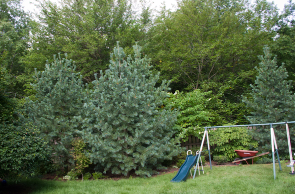 What size shade tree to buy - limber pines 9 years later