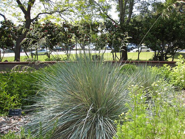 Plant texture - Fine textured blue oat grass