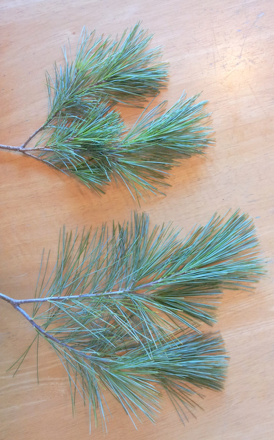 Not a lot of color OR texture difference between the White pine (bottom) and Blue Shag White pine (top)
