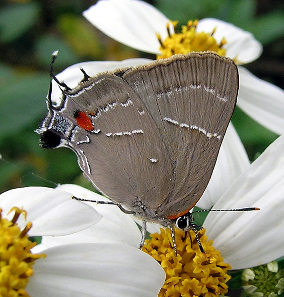 White m hairstreak butterfly on a flower